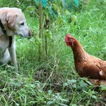 Holly the dog and a chicken